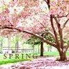 spring cherry blossoms (sakura)